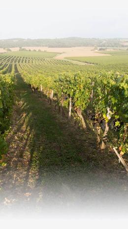 Vignoble et Vente de Vins AOC à Maumusson